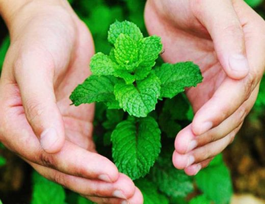 benefits of mint